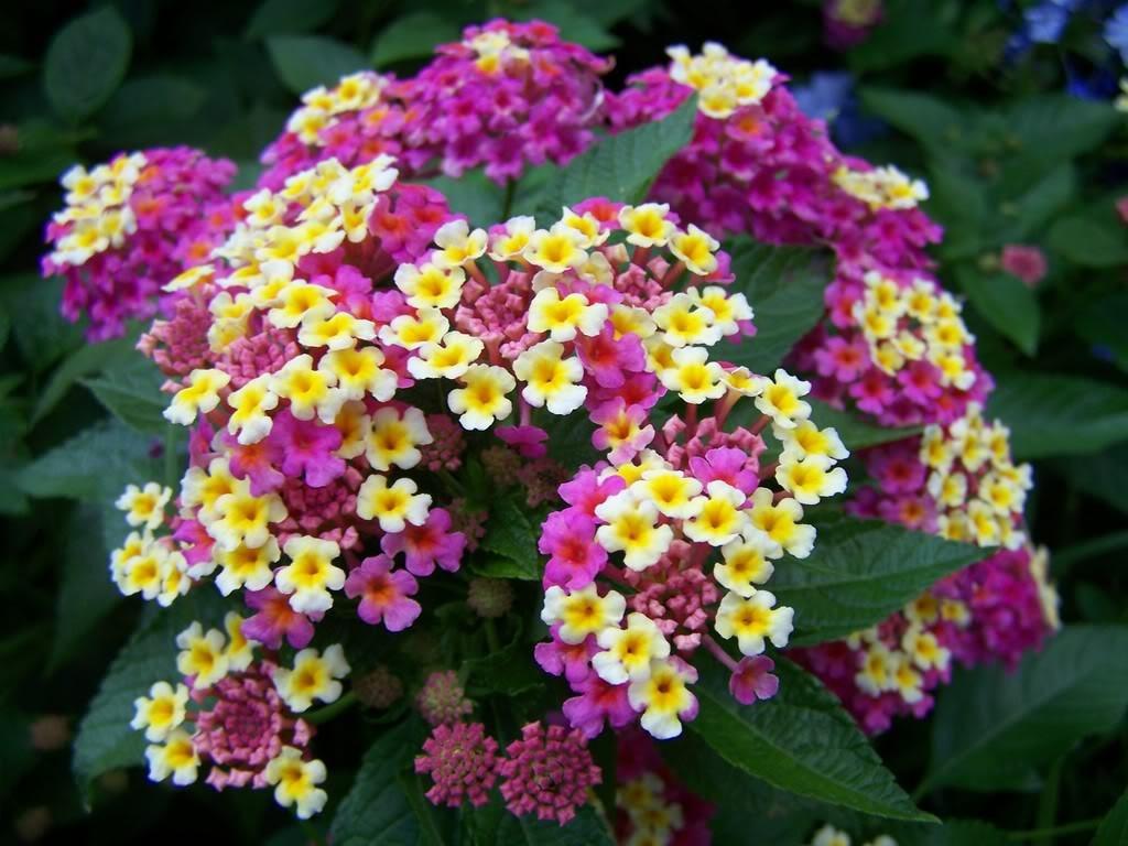 Cveće koje odoleva visokim temperaturama Lantana