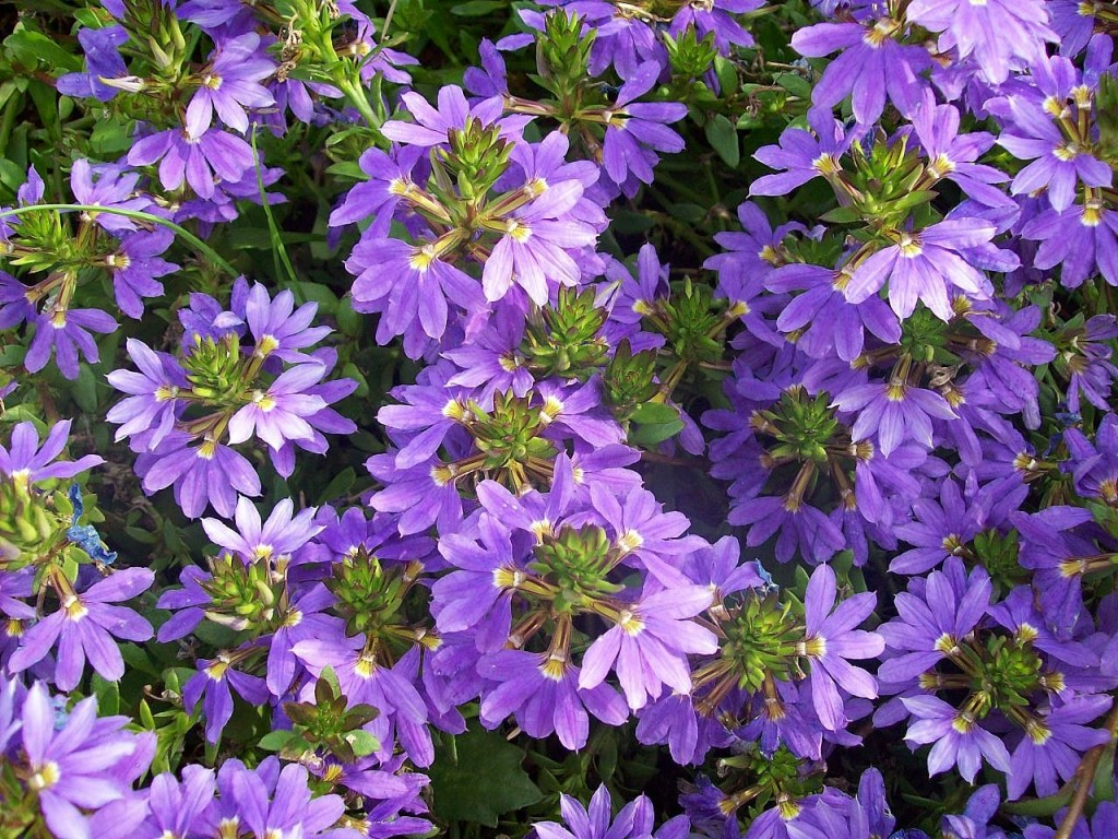Cveće koje odoleva visokim temperaturama Scaevola