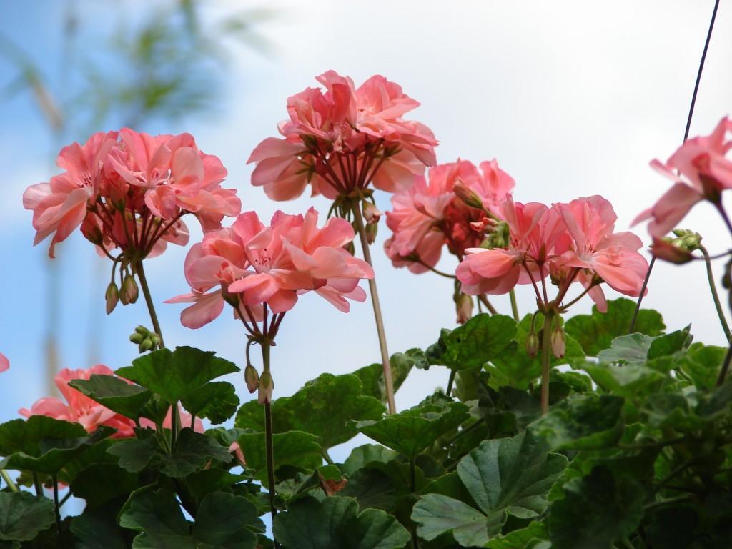 Cveće koje odoleva visokim temperaturama muskatla
