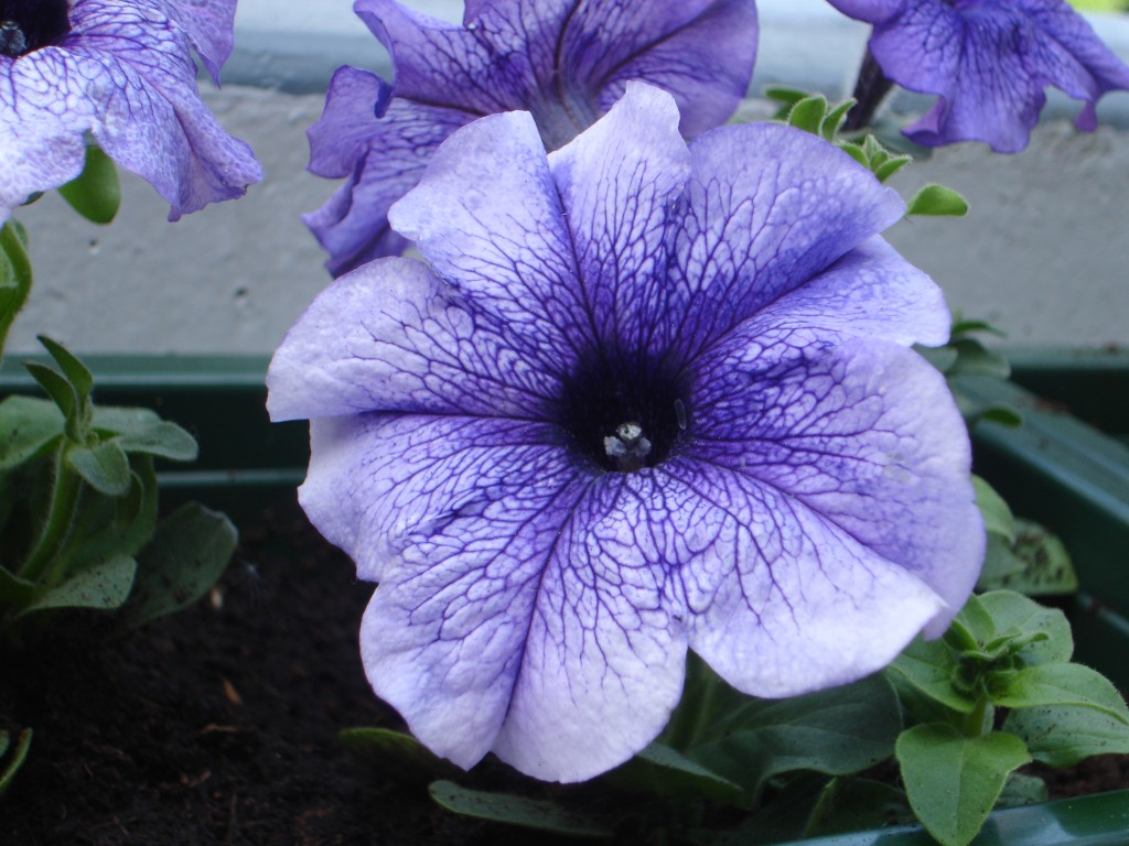 Cveće koje odoleva visokim temperaturama petunije